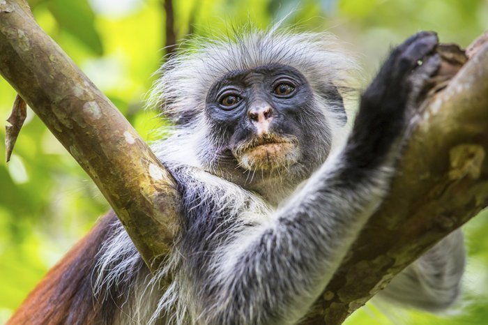 The red Colobus monkey in Jozani Chwaka Bay National Park