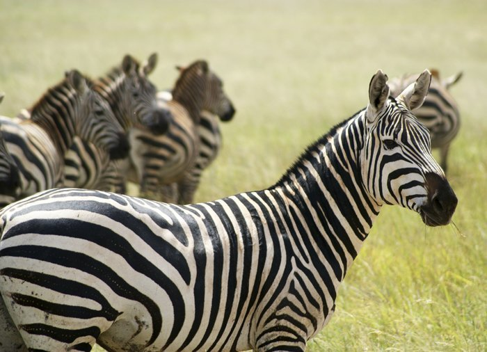 Zebras in Tsavo East National Park