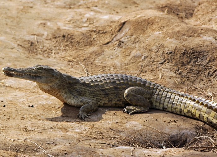 Crocodile in Tsavo East National Park