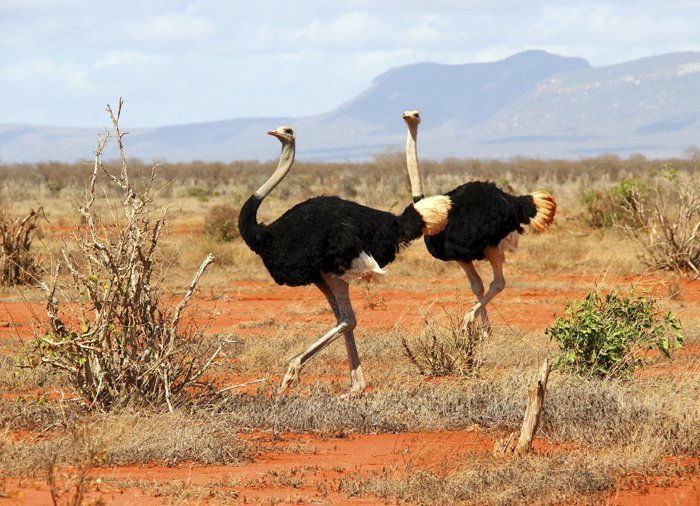 Ostriches in Tsavo East National Park