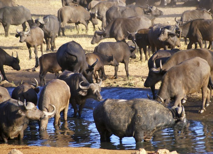 Buffalo in Tsavo East National Park