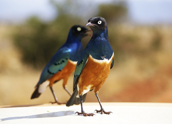 European rollers in Tsavo East National Park