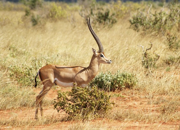 Gazelles in Tsavo East National Park