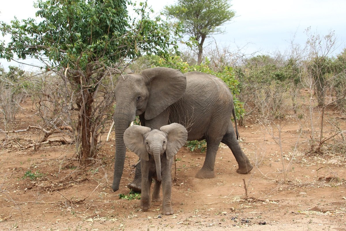 safari in south africa travel to south africa for your next adventurebaby elephant and its mother in kruger national park