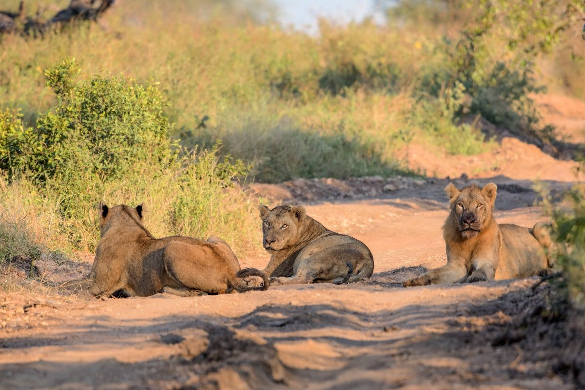 safari in kruger park and holiday in cape town click for more infolions in kruger national park