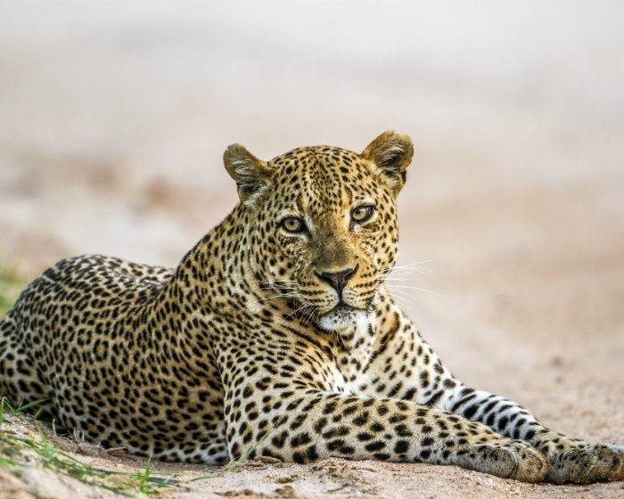Leopard in Kruger National Park in South Africa