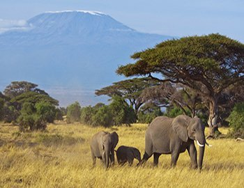 Elephants in Amboseli National Park in Kenya