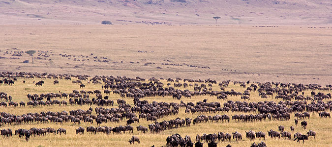 Wildebeests during great migration in Tanzania