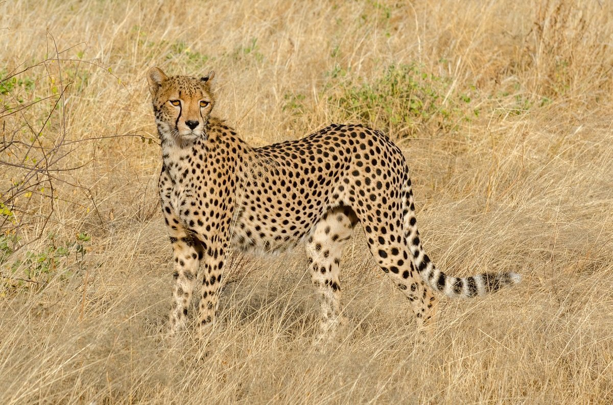 kruger park safari experience africa unfiltered on this 10 day tourcheetah in kruger national park