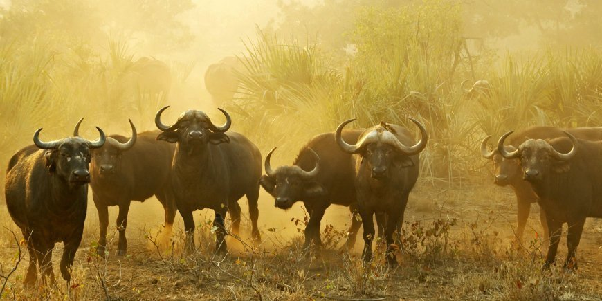 Buffalos in South Africa