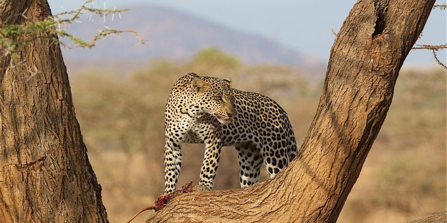 Leopard in Samburu Kenya