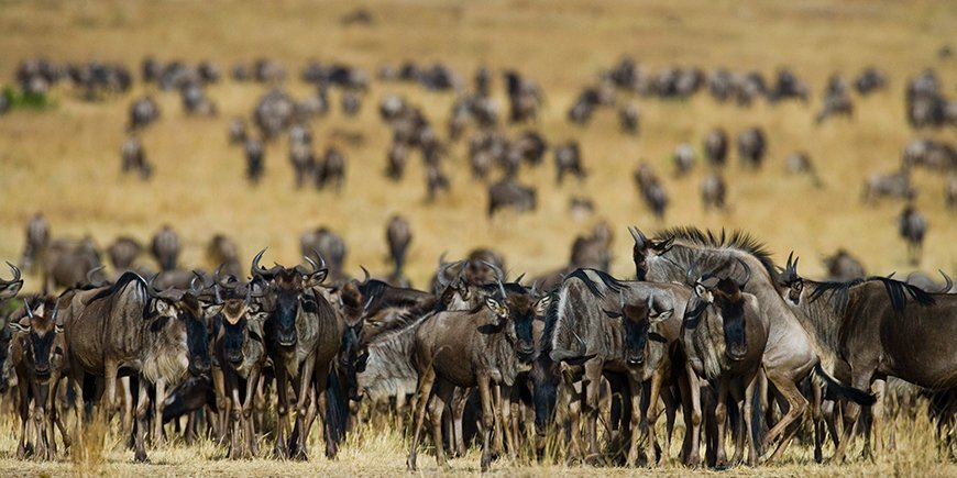 Wildebeest are following each other in the savannah.