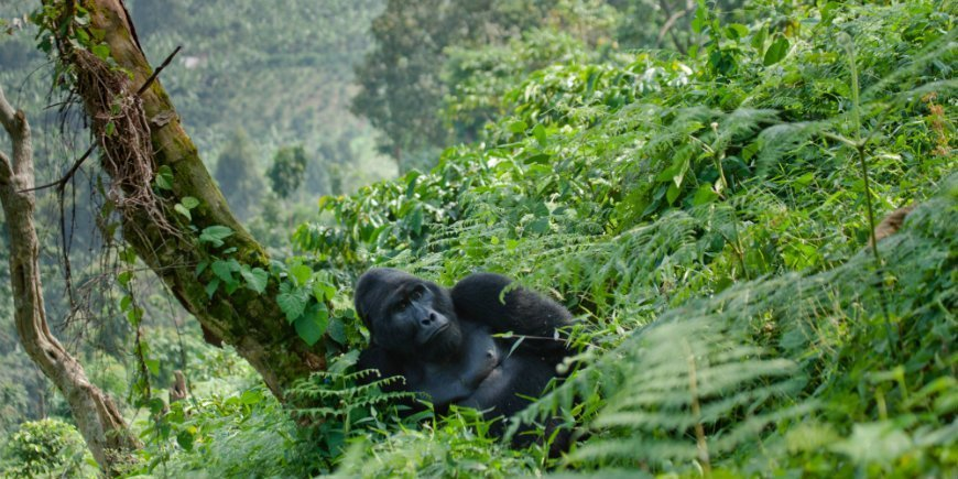 Gorilla in Bwindi impenetrable forest national park