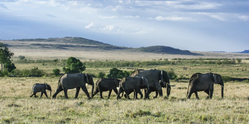 Elephant herd in Masai Mara