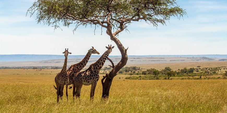 Giraffes at the savanna in Masai Mara