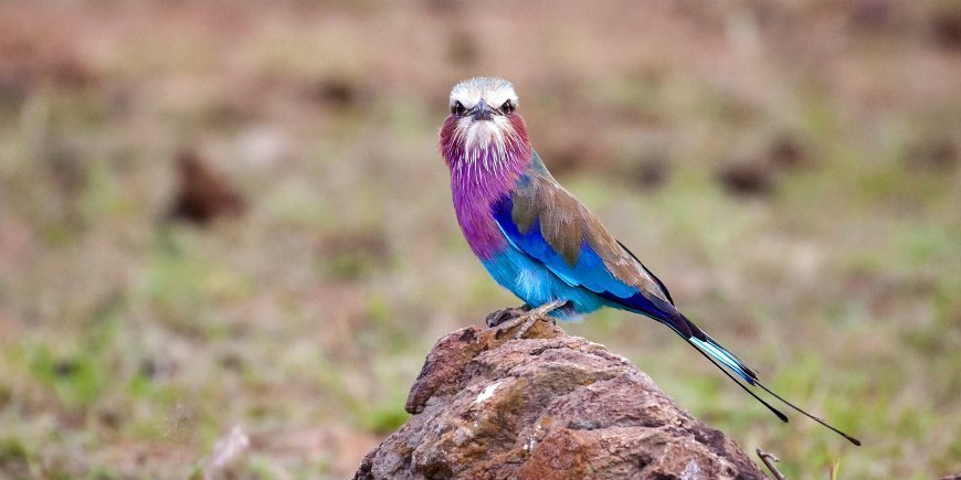 Lilac-breasted roller in Masai Mara