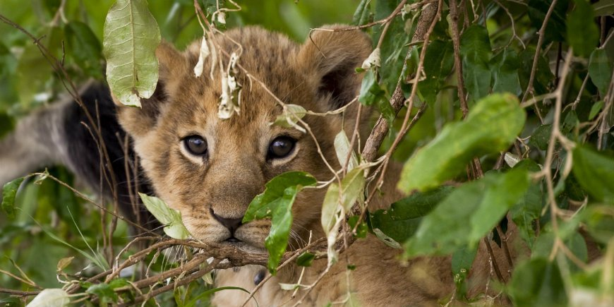 Lion cub in Masai Mara