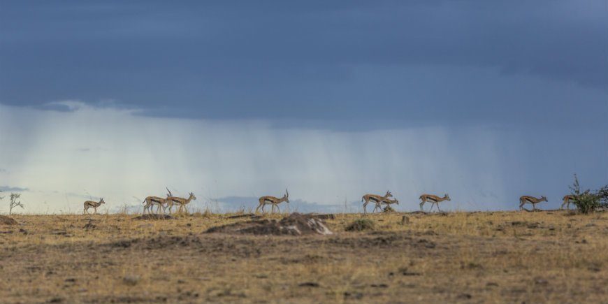 Thompson gazelles and a dark sky in the Masai Mara
