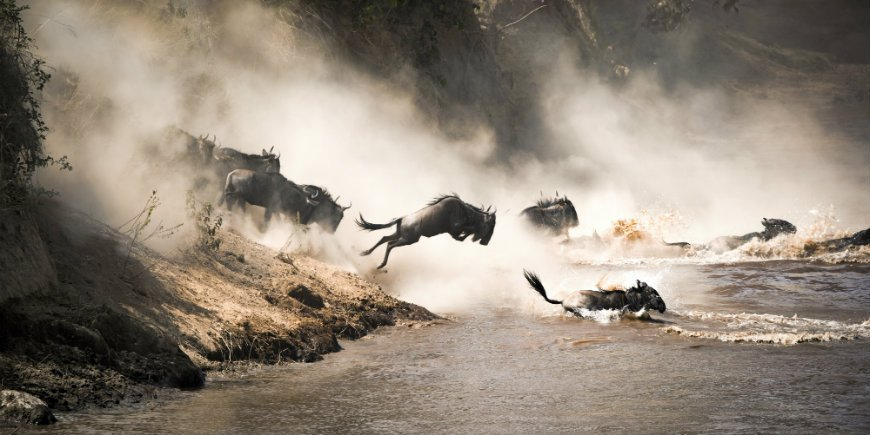 Wildebeests by Mara River