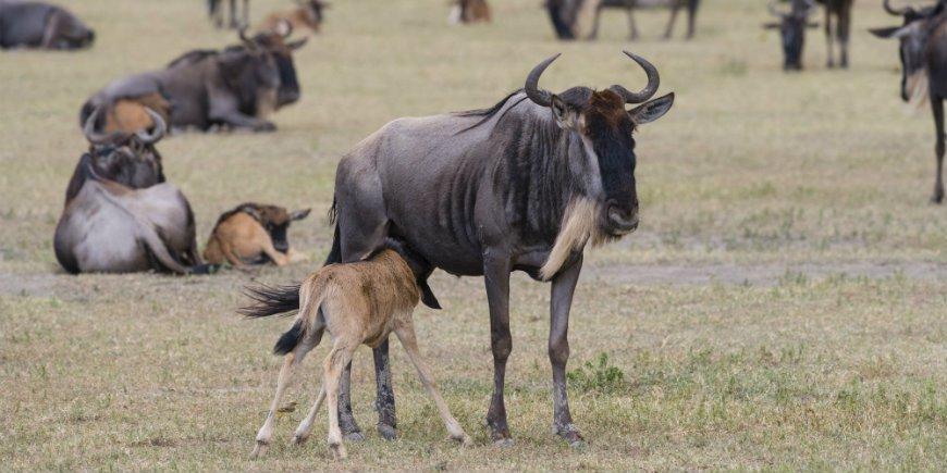wildebeest calf in the Ngorongoro Crater